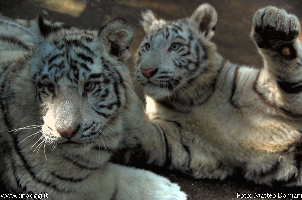 animals of China - white tigers