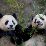 Panda released into the wild in China