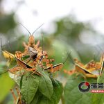 Locust invasion in Changsha
