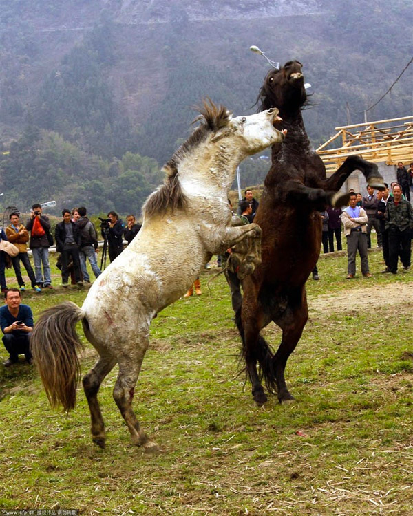 Horse fight club