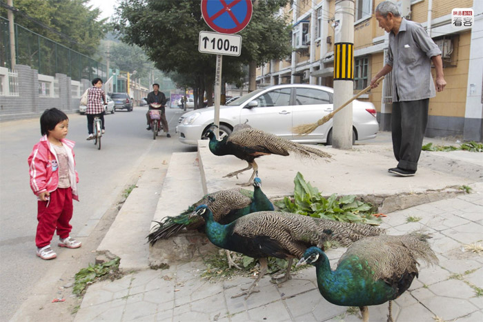 Beijing, 76-year-old man with six peacocks