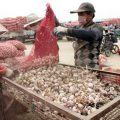 China invests in garlic boom: some investors switch from stocks to garlic