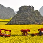 The Amazing Rapeseeds Fields of Luoping, China – 55 photos