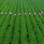 Insured crabs, tea help China's farmers avoid weather losses