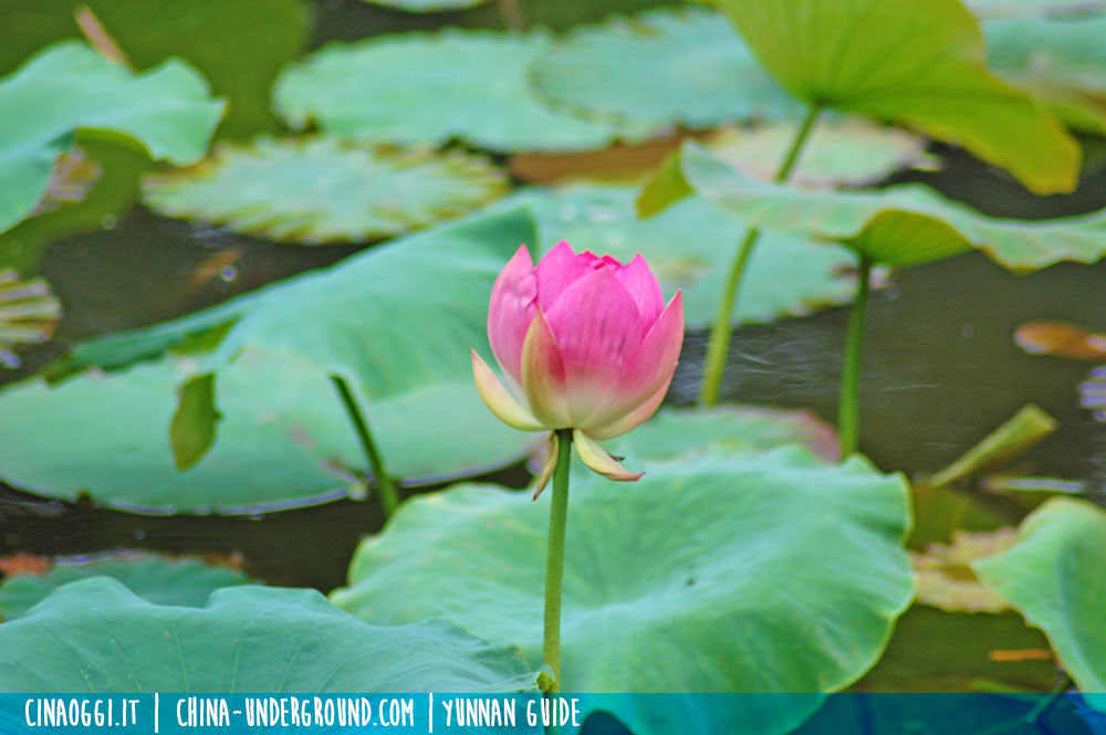 lotus flower china