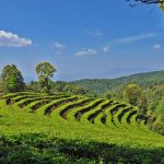 Trip to Gaoxiang Ecological Tea Cultural Tour Area of Eshan