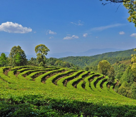 Gaoxiang Ecological Tea Cultural Tour Area of Eshan