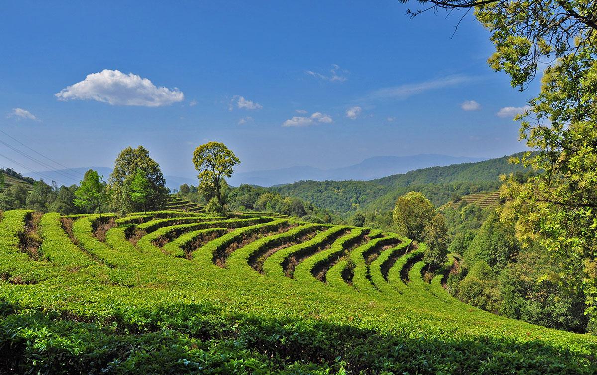 Gaoxiang Ecological Tea Cultural Tour Area of Eshan