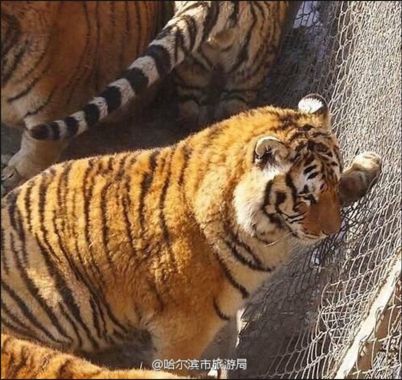 fat wild cat