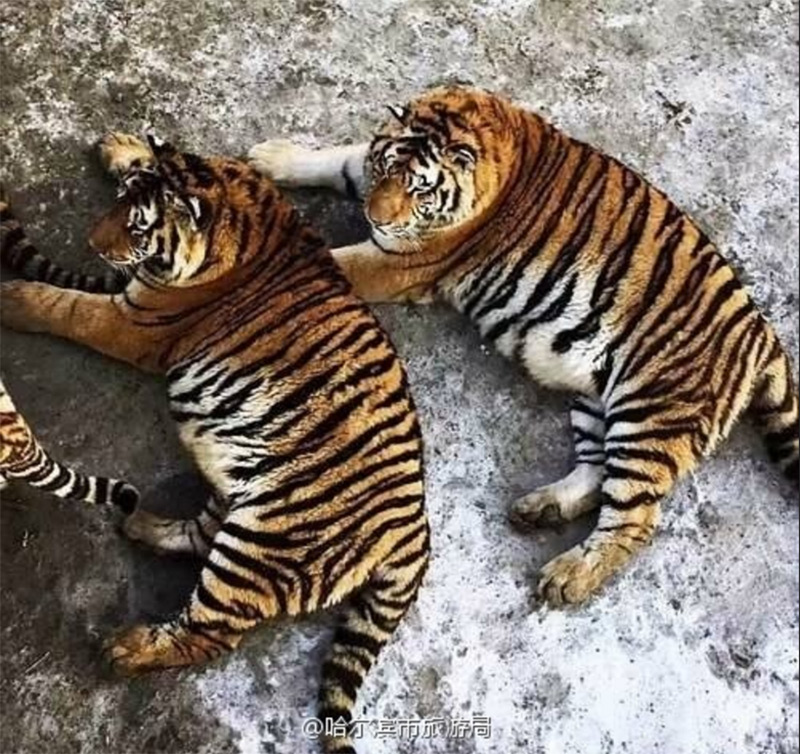 fat China tigers