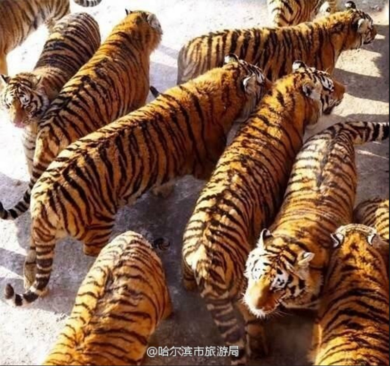 The Majestic Siberian Tigers Of Harbin Forest Park China Underground