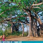 The Banyan King | Dehong Travel Guide