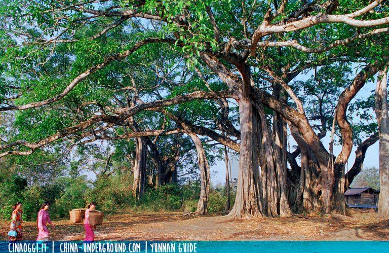 king-banyan-yunnan-A giant Banyan tree in Yunnan province, southern China
