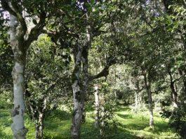 Shuangjiang Clusters of Tea Trees