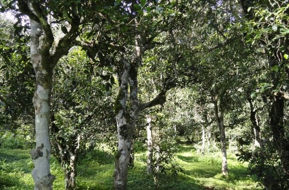 Shuangjiang Clusters of Tea Trees