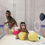 China awaits birth of third macaque monkey cloned from somatic cells