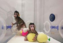 China-awaits-birth-of-third-macaque-monkey-cloned-from-somatic-cells