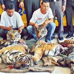 Traditional Chinese Medicine Animals-tiger abuse