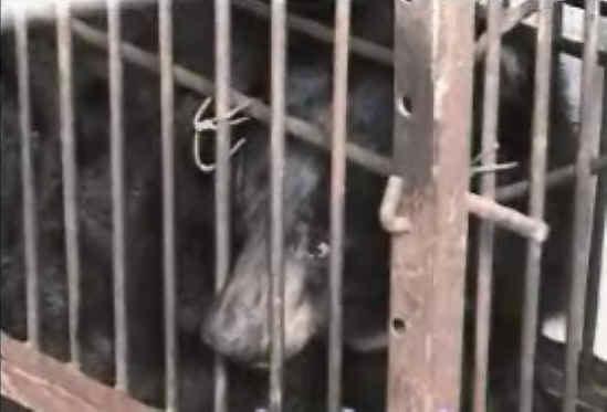Bear cruelty