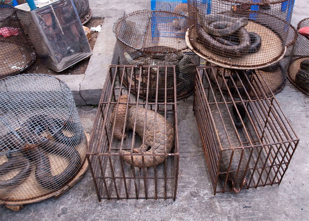 pangolins_traditional_Chinese_medicine