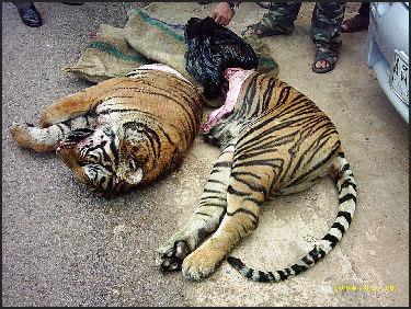 tiger abuse