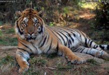 tiger-trade of tiger bones