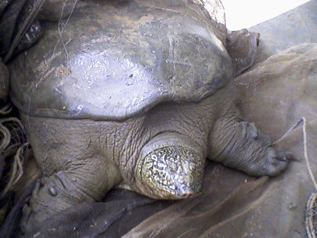 Yangtze giant softshell turtle