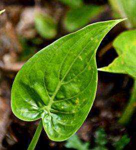 Alocasia cucullata 尖 尾 芋