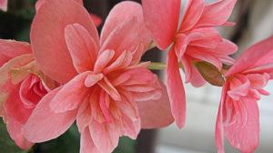 Begonia 秋海棠 属