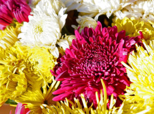 Chrysanthemum 菊 属