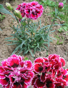 Dianthus caryophyllus 康乃馨