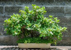 Ficus microcarpa 細葉榕