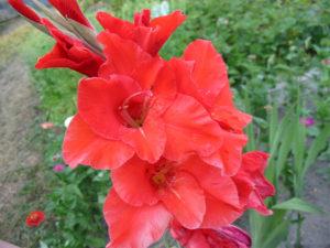 Gladiolus 唐菖蒲 属