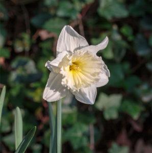 Narcissus 水仙 属