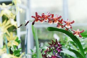 Orchid Oncidium - 文 心 蘭 屬