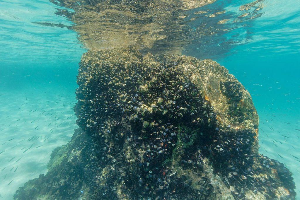 Mediterranean-mussel